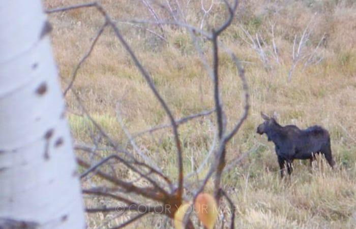 グランドティートン国立公園のムース