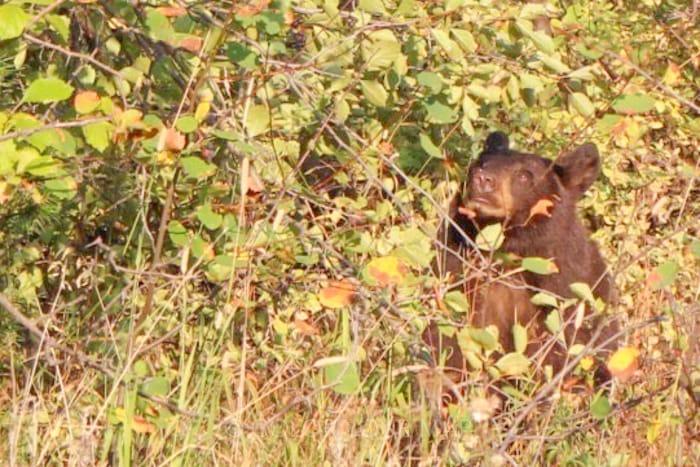 グランドティートン国立公園のクマ
