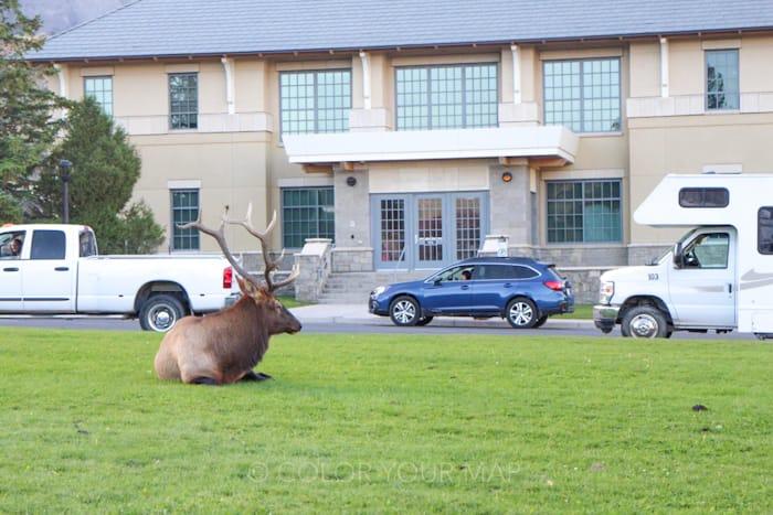 イエローストーン国立公園のマンモスホットスプリングス近くにはエルクがいっぱい