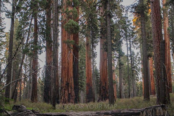 セコイア国立公園とキングスキャニオン国立公園にあるセコイアの巨木