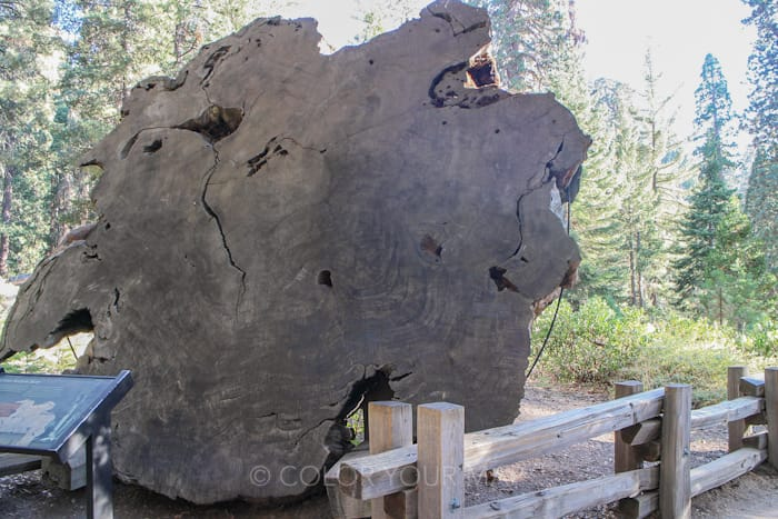セコイア国立公園で見られる巨木の断面