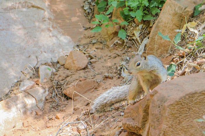 ザイオン国立公園の大人気トレイルThe Narrows(ザ・ナロウズ)周辺に生息するリス