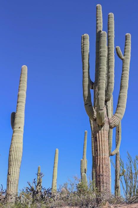 樹齢100年超のsaguaroは巨大で枝分かれも多い